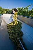 Grape harvest, Baden, Lower Austria, Austria, Europe