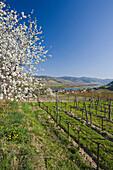 Vines and cherry blossom in the sunlight, Wachau, Lower Austria, Austria, Europe