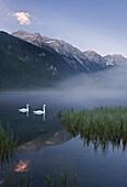 Swans on lake Jaegersee, Radstaedter Tauern, Salzburg, Austria, Europe
