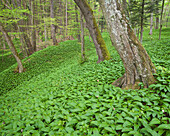 Wild garlic covering the forest floor, Danube-Auen National Park, Lower Austria, Austria