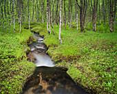 Stream flowing through a birch wood, Forest, Nordland, Norway