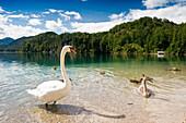 Swan at lake Alpsee, Allgau, Bavaria, Germany