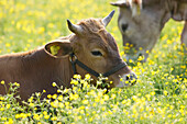 Young cows lying on a Spring meadow, Domestic cattle, Muensing, Bavaria, Germany