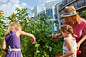 Family, mother and two girls harvesting tomatoes, Urban Gardening, Urban Farming, Stuttgart, Baden Wurttemberg, Germany
