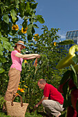 Man and woman harvesting carrots, Urban Gardening, Urban Farming, Stuttgart, Baden Wurttemberg, Germany