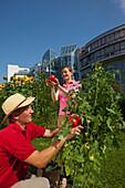 Man and woman harvesting tomatoes, Urban Gardening, Urban Farming, Stuttgart, Baden Wurttemberg, Germany