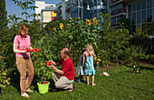 Family, Father, mother and two daughters harvesting tomatoes, Urban Gardening, Urban Farming, Stuttgart, Baden Wurttemberg, Germany