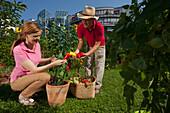 Man and woman harvesting red peppers, Urban Gardening, Urban Farming, Stuttgart, Baden ple, Wurttemberg, Germany