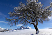 Deciduous tree in snow, Plattkofel alpine pasture, Seiser Alm, Dolomites, South Tyrol, Trentino-Alto Adige, Italy