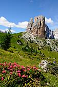 Alpine rhododendron, Cinque torri, Dolomiti ampezzane, Dolomites, South Tyrol, Trentino-Alto Adige, Italy
