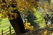Chestnut tree at the fence, Keschtnweg, Valle Isarco, Südtirol, Italien, South Tyrol, Trentino-Alto Adige, Italy