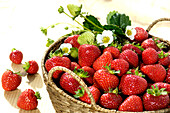 Strawberry harvest in basket, South Tyrol, Trentino-Alto Adige, Italy