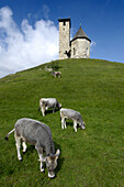 Cows in front of church on a hill, Burggrafenamt, Alto Adige, South Tyrol, Italy, Europe