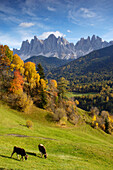 Cows in a pasture, autumn landscape, Geisslers peaks, Alto Adige, South Tyrol, Italy