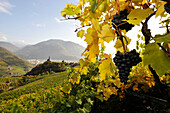 Rape grape in autumn, St Georg, Alto Adige, South Tyrol, Italy