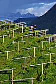 Wine-growing region, Rosengarten, Dolomites, Alto Adige, South Tyrol, Italy