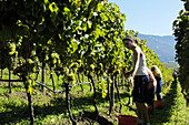 Group of people harvesting grape near Brixen, Valle Isarco, Alto Adige, South Tyrol, Italy
