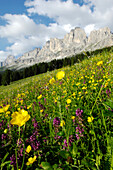 Alpine meadow in the background, Dolomites, Alto Adige, South Tyrol, Italy