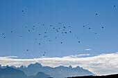 Flock of crow, Alto Adige, South Tyrol, Italy