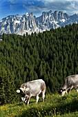 Cows grazing, Hagner Hof, Eggen Valley, Nova Levante, Dolomites, Alto Adige, South Tyrol, Italy