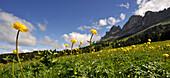 Meadow of globeflowers, Eggen Valley, Nova Levante, Dolomites, Alto Adige, South Tyrol, Italy