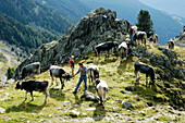 Farmer on the alpine pasture, Ultental, Alto Adige, South Tyrol, Italy