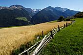 Rye fields at the Sonnenberg, Alto Adige, South Tyrol, Italy