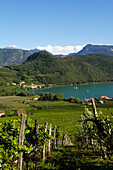Vines around the lake Kalterer, Bozen, Alto Adige, South Tyrol, Italy