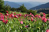 Field of poppy flowers, Jenesien, Alto Adige, South Tyrol, Italy