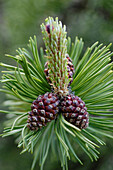 Pine cones, branch with needles, Alto Adige, South Tyrol, Italy