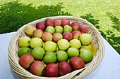 Fresh apples in the basket, Alto Adige, South Tyrol, Italy