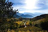 Vineyards in the sunlight in autumn, Kaltern an der Weinstrasse, South Tyrol, Alto Adige, Italy, Europe