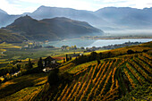 High angle view of vineyard at lake Kalterer See, Kaltern an der Weinstrasse, South Tyrol, Alto Adige, Italy, Europe