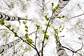 Low angle view of birches in spring, South Tyrol, Alto Adige, Italy, Europe