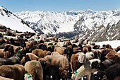 Flock of sheep on its way to mountain pasture on snow covered mountainside, Similaun glacier, South Tyrol, Alto Adige, Italy, Europe
