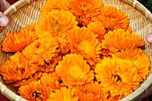 Marigold in a basket, Unterinn, South Tyrol, Alto Adige, Italy, Europe