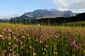 Alpine meadow with flowers in front of mountain scenery, Latemar, Eggental valley Dolomites, South Tyrol, Alto Adige, Italy, Europe