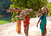 Group of women carrying firewood on their head, Rajasthan, India
