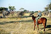 Riding close to large breeding herd of elephants in the bush, Okavango Delta, Botswana