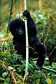 Close-up of young gorilla, looking at camera, Kabale, Uganda