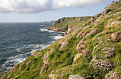 Headland and Sea Pinks, towards Cape Cornwall, Cornwall, England.