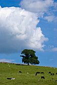 Cows on hillside at Kirkby Lonsdale, Cumbria, England