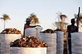 Sénégal, Kafountine, Fish scrap
