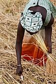 Sénégal, Bignola, Rice farming