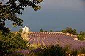 France, Alpes de Haute Provence, near Valensole, lavender field