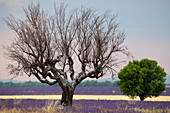France, Alpes de Haute Provence, near Valensole, lavender fields, dead almond tree