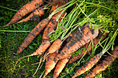 Close-up of freshly harvested carrots