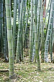 JAPON, KYOTO, Bamboo forest