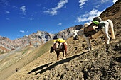 Horses as pack animals descending from pass, Kiupa La, Zanskar Range Traverse, Zanskar Range, Zanskar, Ladakh, India