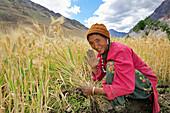 Woman harvesting corn, Pigmo, Padum, Zanskar Range Traverse, Zanskar Range, Zanskar, Ladakh, India